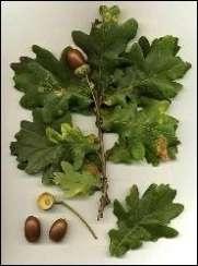 egetræs frugter