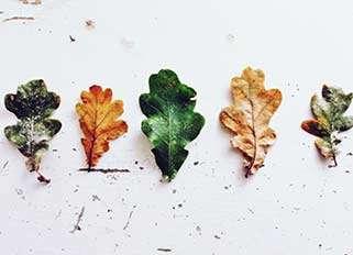 blade fra egetræ